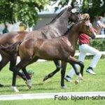 Quintofino - Fohlenchampionat 2016 Pferdehof am Weiler